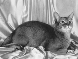 Abessinier - Katzenrasse