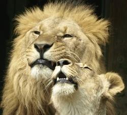 soziale Großkatze: der Löwe