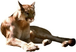 Größte Kleinkatze: der Puma