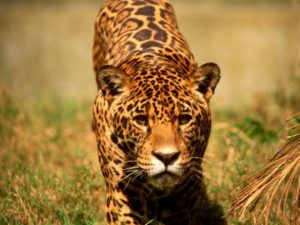jaguar panthera onca s damerikanische gro katze. Black Bedroom Furniture Sets. Home Design Ideas